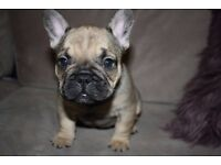 Kc Blue and Fawn French Bulldog puppies