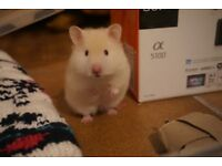 WHITE SYRIAN HAMSTER - 11 WEEK OLD FEMALE (TEDDY BEAR HAIRED) - comes with wheel, ball and chew toys