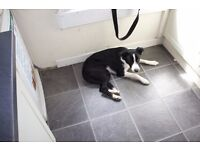 Beautiful Collie Female 1yr