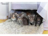 Ragdoll Cross Main Coon kittens for sale