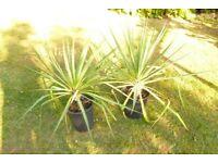 Yucca plant evergreen
