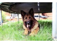 German Shepherd!! beautiful, friendly, calm and loved.