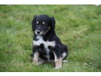 Dog, Puppies For Sale Collie cocker spaniel cross