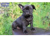 French Bulldog pupps grown up in family