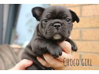 Stunning French Bulldog Litter