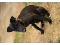 Whippet X bedlington puppy for sale
