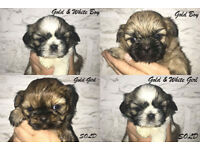 2 Male Shih Tzu Puppies For sale