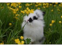 Angora X Lionhead mini adorable fluffy baby rabbits female and male