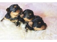Tiny Steel Blue And Tan KC Registered Yorkshire Terrier Puppies for Sale