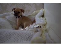 MALE CHUG PUPPY (chihuahua X pug) *READY NOW*