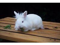 Friendly White Lionhead Boy Bunny For Sale - REW