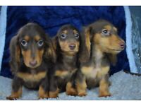 kc longhaired miniature dachshund Puppies for sale