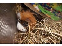 2 female sister guinea pigs need rehoming