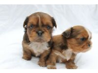 Stunning Red Dobbie Shih Tzu Puppies For Sale