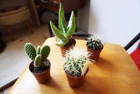 Fantastic Scottish & Dutch Cacti - Small, Medium & Large Available VARYING PRICES