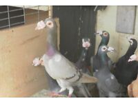 PIGEONS ENGLISH CARRIER FOR SALE