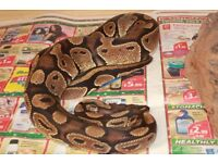 Royal , ball python