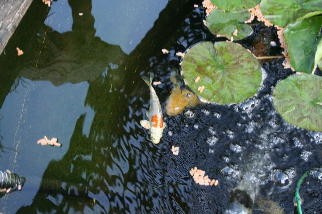 Beautiful Koi fish size 5 inches to 16 inches and all equipment ill health forces sale