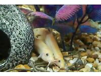 3 Golden weather loaches
