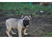 Kc registered French Bulldog puppy. Price Reduced!