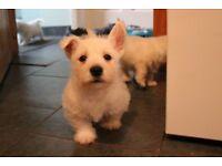 West Highland Terrier (Westie) Puppies for Sale