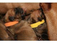 Rhodesian Ridgeback puppies for sale enquiries being taken