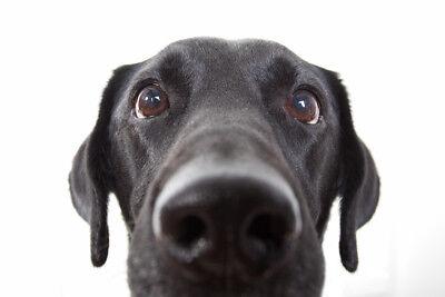 Curious Black Labrador Retriever Dog Close Up Photo Art Print Poster 18x12