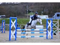 13.2hh Welsh Section B Mare, Grey