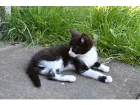 Black and White Kitten for Sale