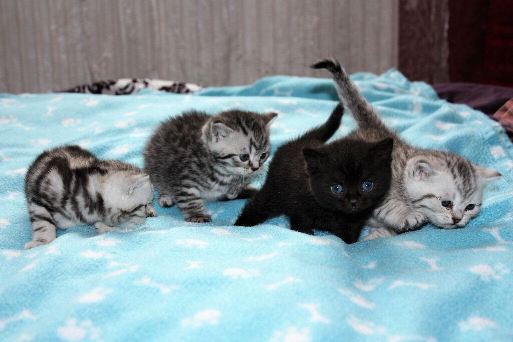 Georgeous British Shorthair Kittens