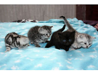 Georgeous British Shorthair Kittens