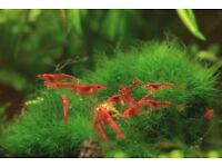 Red cherry shrimps - 15 shrimps for £10 or £1 each !!!