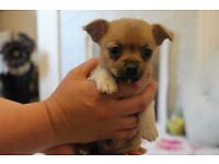 Pom-Chi Puppys