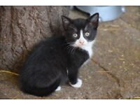 Adorable black and white 8 week old kitten