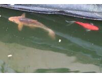 Beautiful Orange Koi Carp and Large Goldfish
