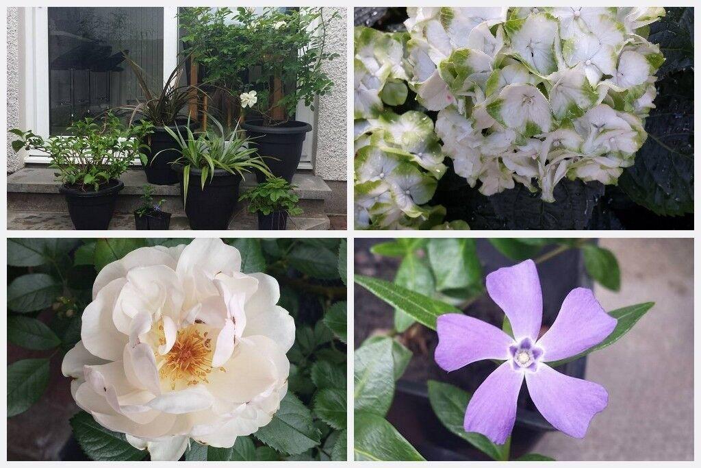 Garden Patio Hydrangea And Fragrant Rose Shrub Vinca