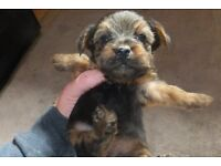 for sale 3 yorkshire terriers