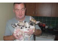 chiahuahua puppies for sale