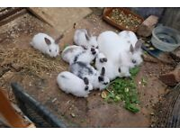 baby rabbits for sale ,
