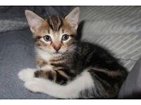 2 Tabby/Bengal kitten for sale