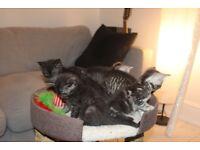 Kittens British Short Hair-Cross Kittens