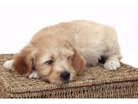 Kitchen reared Miniature Australian x labradoodle puppies from health tested parents