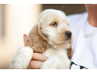 Cocker Spaniel Puppies, Orange Roan, K.C Reg. Outstanding. Only 3 remaining !