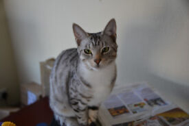 Missing Bengle cat 'Mia' from Winkleigh area in Devon.