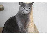 Grey Female cat