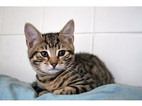 STUNNING 3/4 Bengal Kittens 11 weeks old ready NOW!