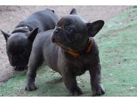 Kc Reg Blue French Bulldog Puppies