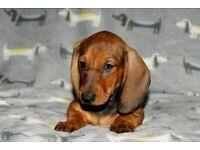 Standard smooth dachshund puppies