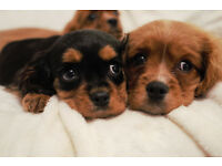 Cavalier King Charles Puppies ready now