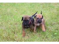 Gorgeous Red Wheaten Rhodhesian Ridgeback pups-ready now